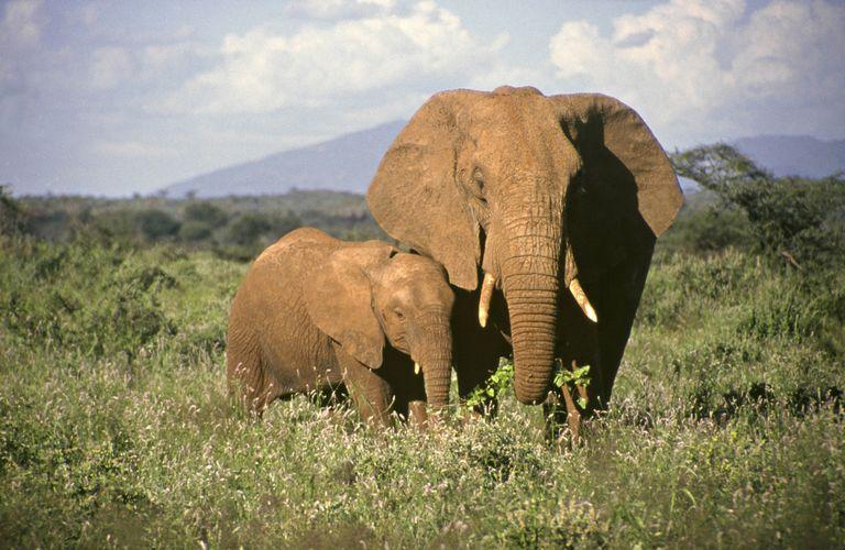 Elephant babies. African Elephant family.