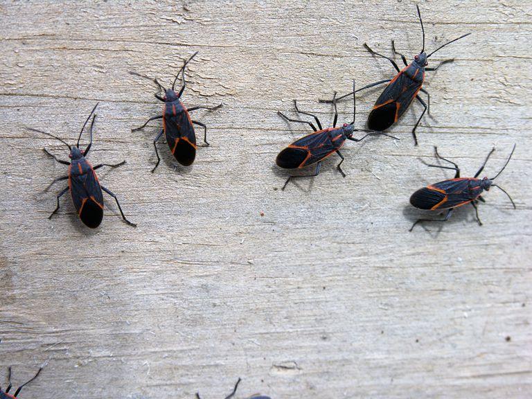 Box elder bugs.