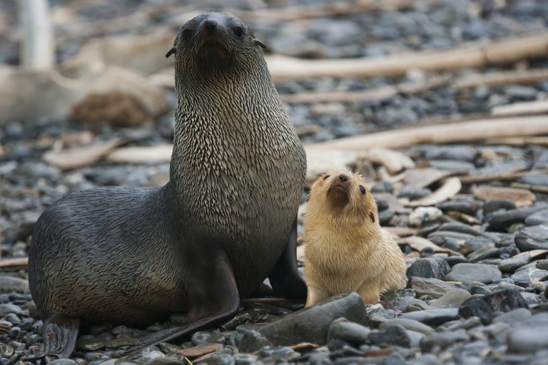 Antarctic Fur Seal with Pup / Mint Images - Art Wolfe / Mint Images RF / Getty Images