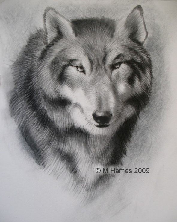 a wolf drawing anyone can do