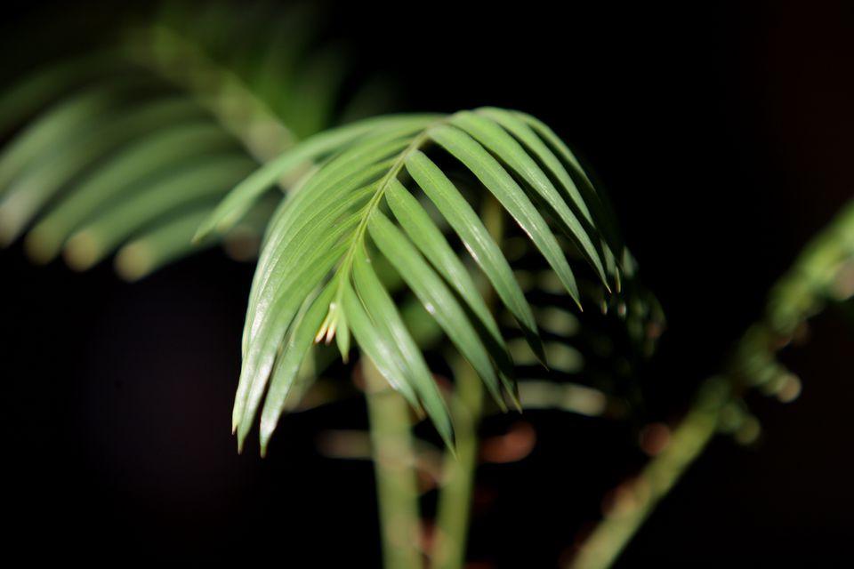 Sago palm leaf