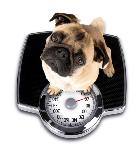 Pug Dog on Scale