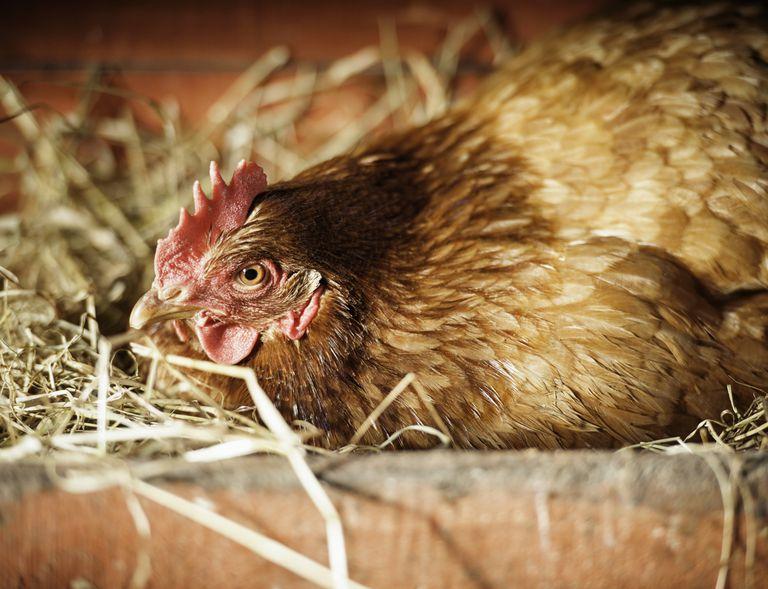 Cómo levantar una gallina culeca