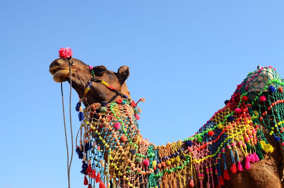 Decorated camels at Pushkar fair, Rajasthan, India
