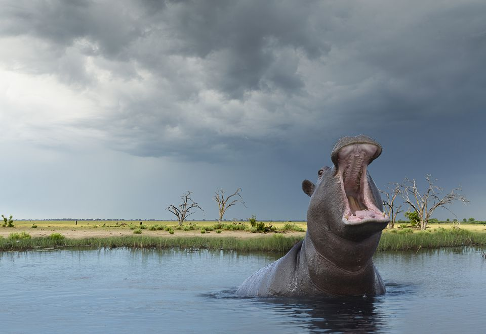 Facts About African Wildlife the Hippo