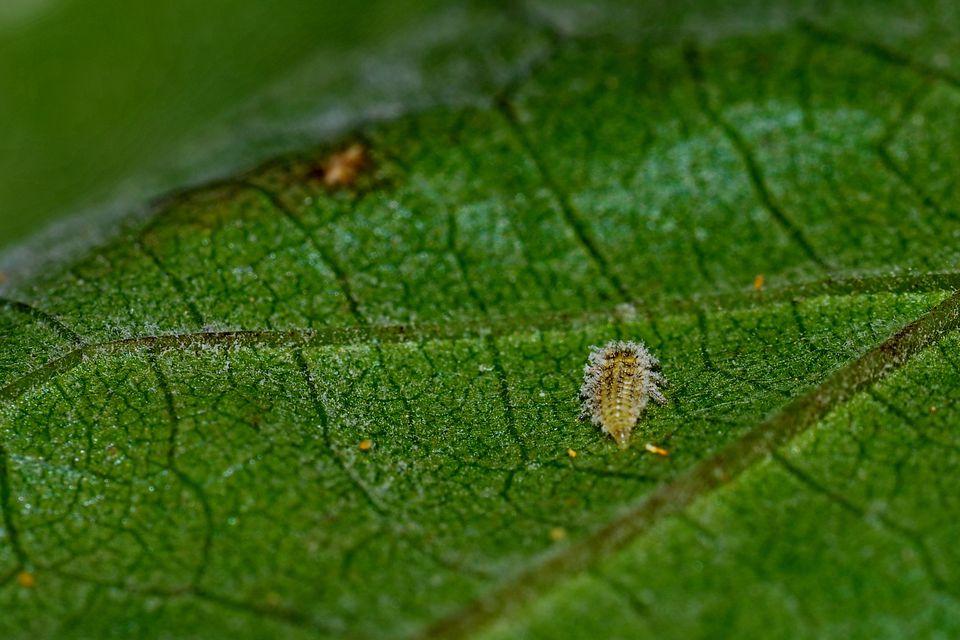 Filoxera/Phylloxera