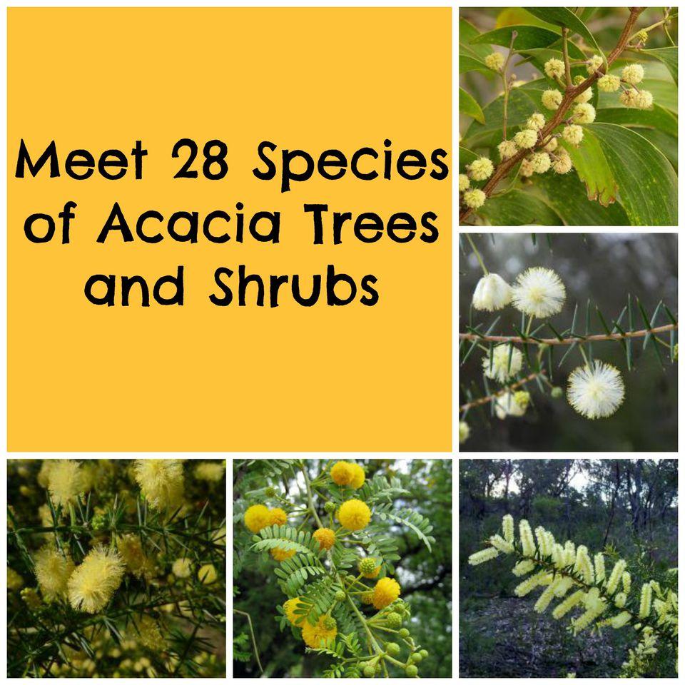 AcaciaTreesShrubsCollage.jpg