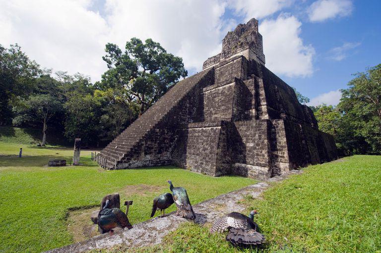 Ocellated Turkeys (Agriocharis ocellata) at Tikal