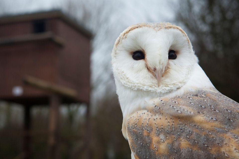 Barn Owl and Nesting Box
