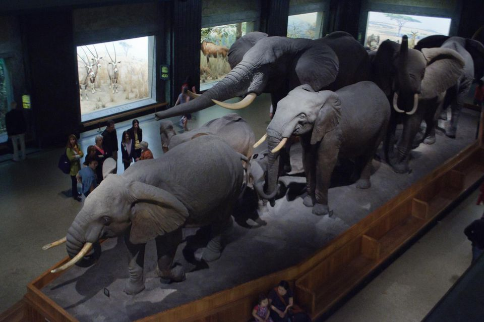 African Hall, American Museum of Natural History The centerpiece of the African Hall is this diorama of an elephant herd.