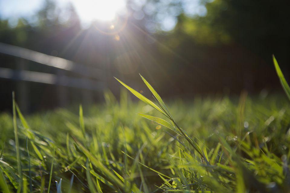 Grass blades in lawn backlit.
