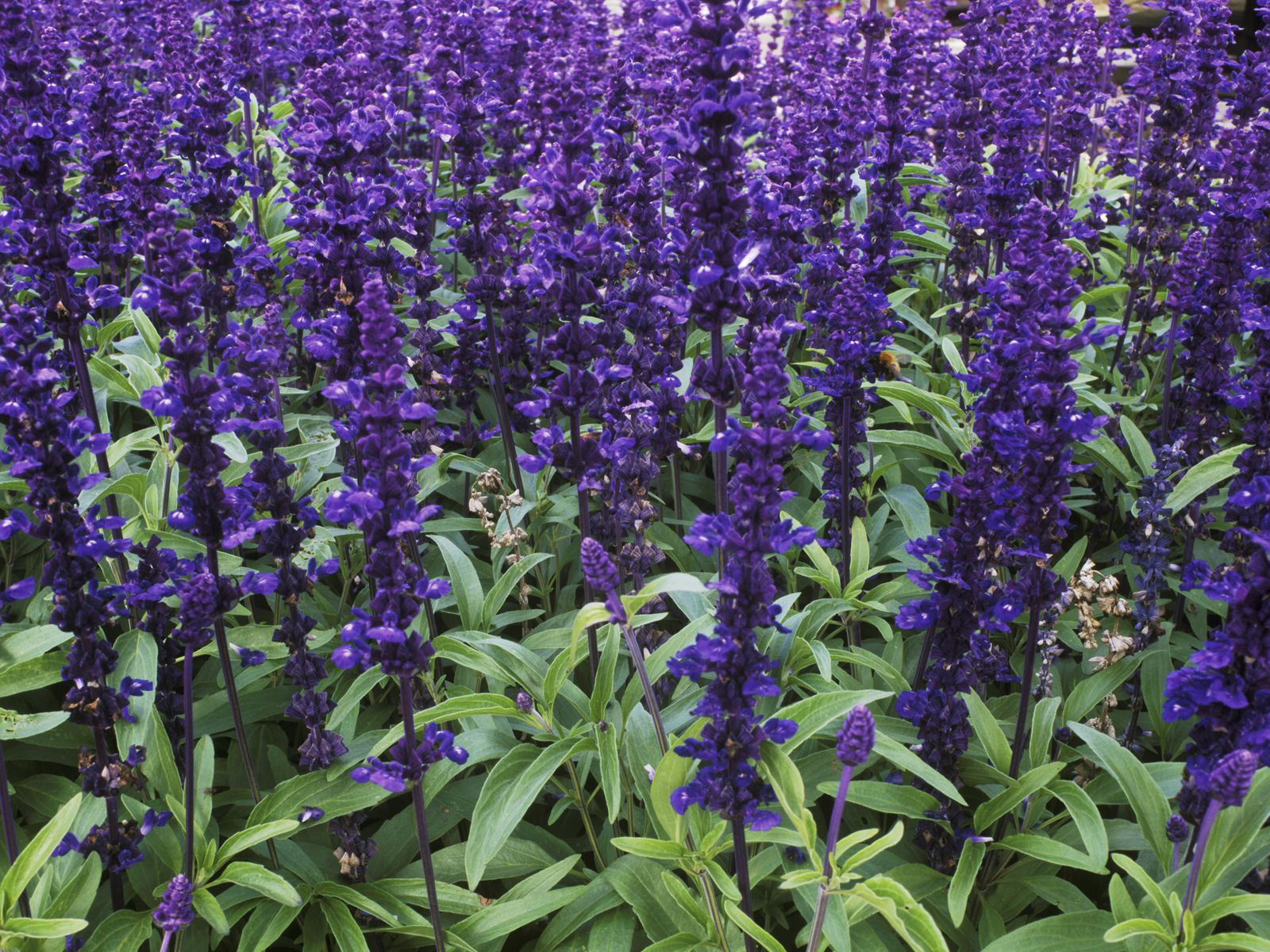 Mealy Cup Sage Salvia Farinacea Growing Guide