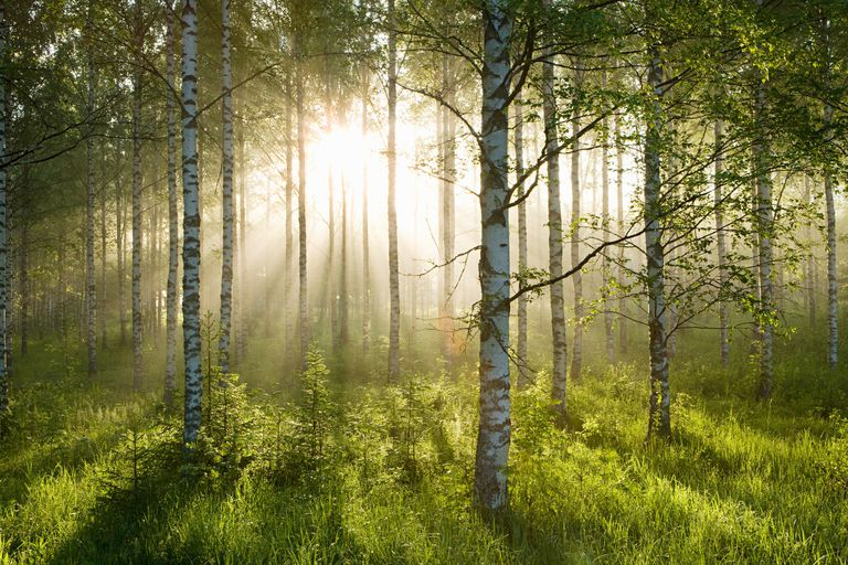 sun coming through forest of birch trees