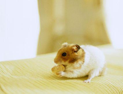 Can Rats Eat Hamster Gerbil Food