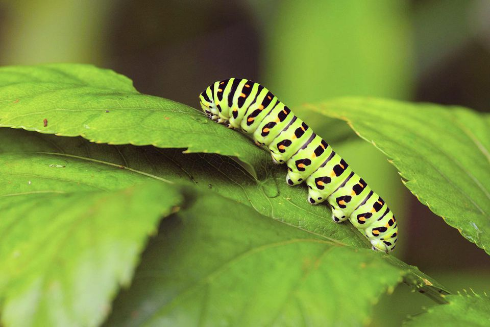 Swallowtail Caterpillar, Japan