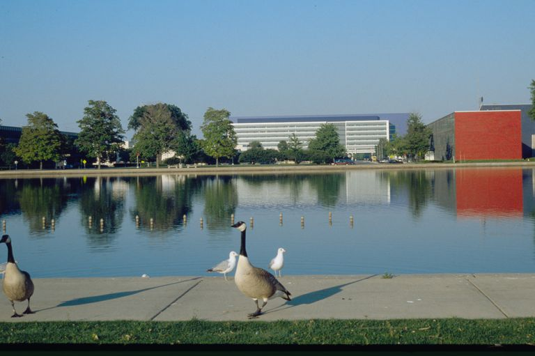 Geese attracted to the man-made lake at the GM Technical Center in Warren, Michigan