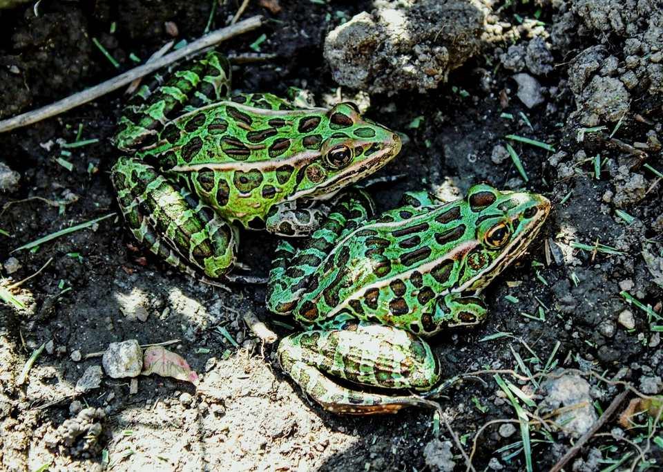 Two leopard frogs