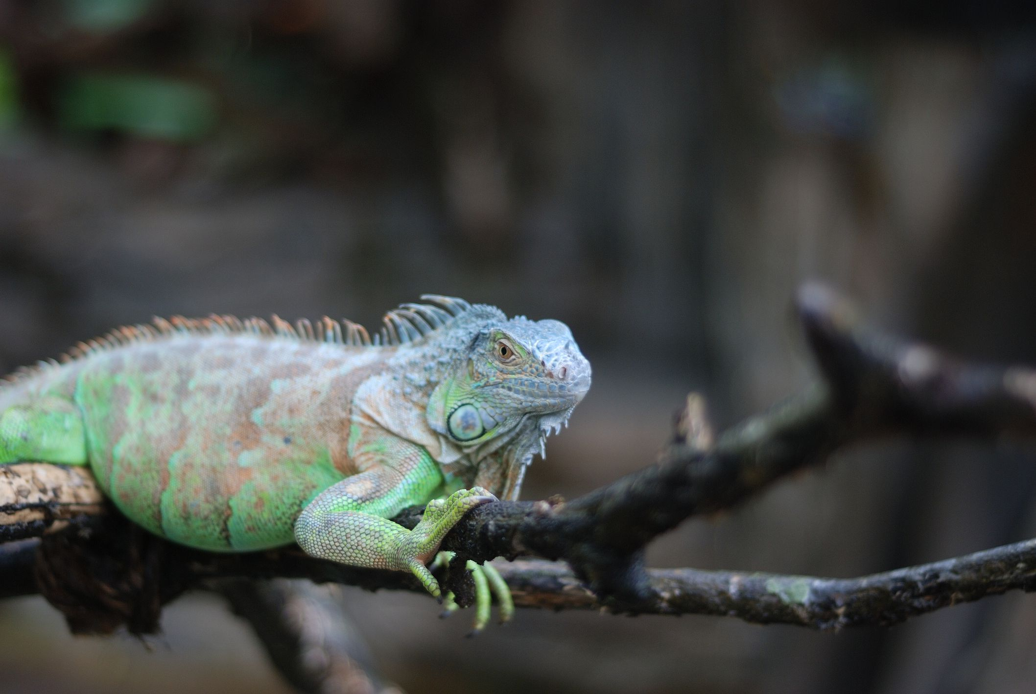 what to expect from a pet iguana
