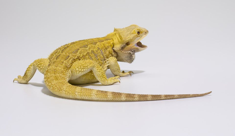 Bearded dragon (Pagona vitticeps) in studio