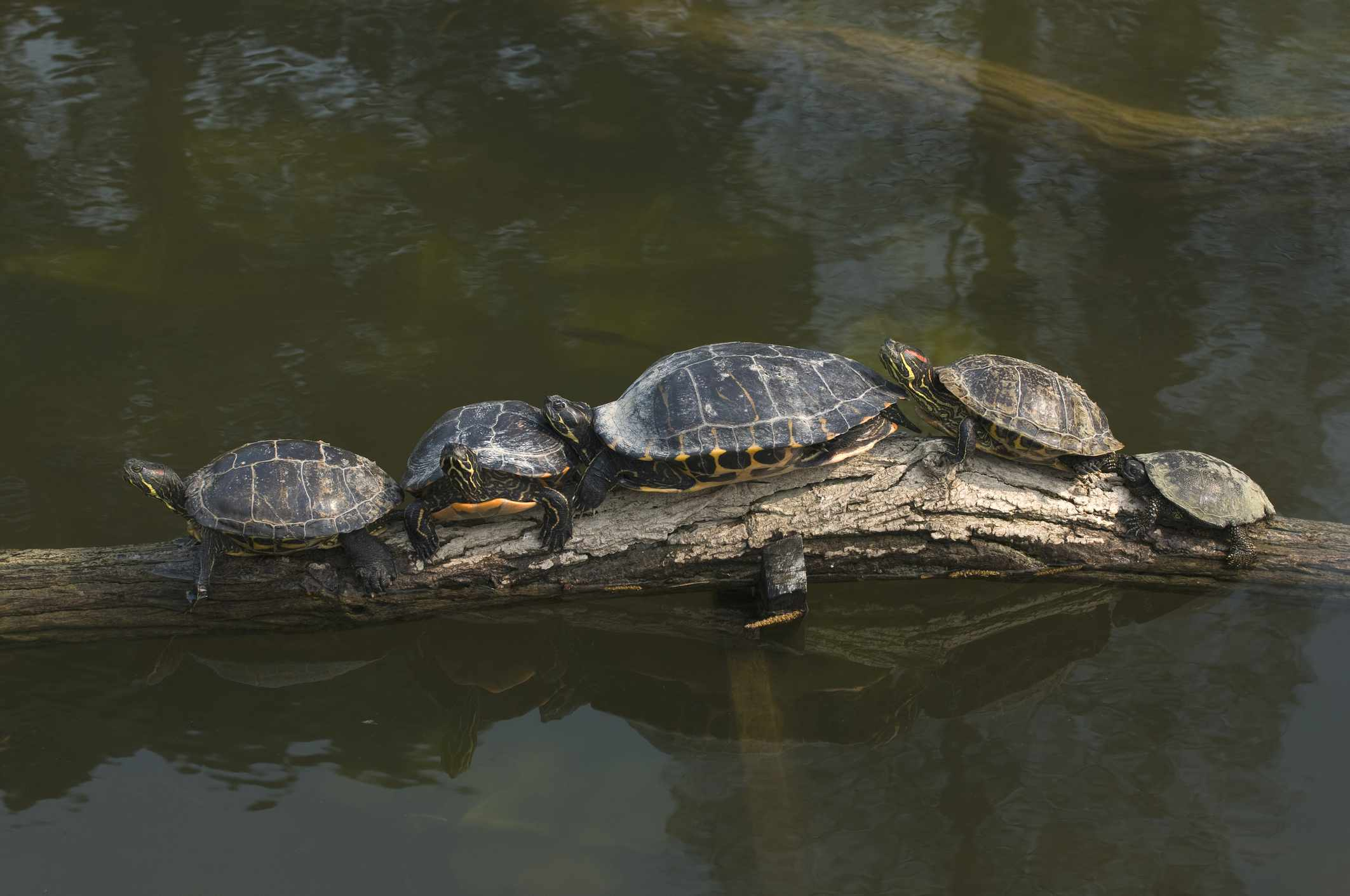 Caring for Yellow Bellied Sliders As Pet Turtles