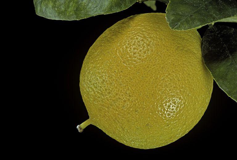 Citrus bergamia 'Femminello' (bergamot orange)