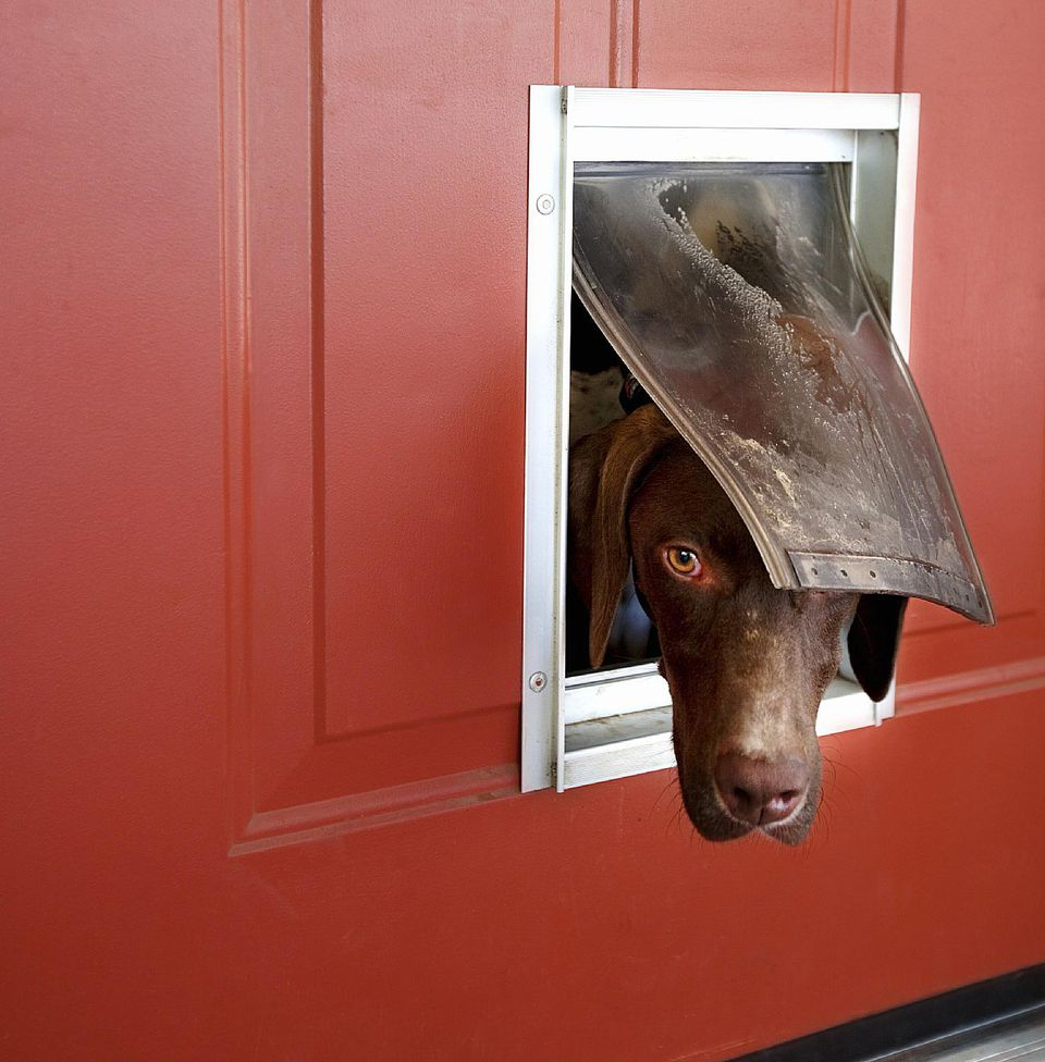 Dog popping head out doggy door.