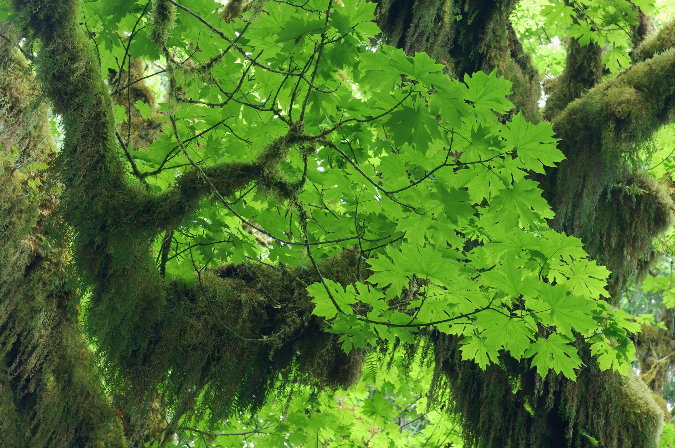 Growing the Dawn Redwood Tree in the Home Landscape
