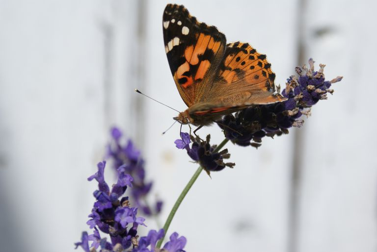 Habits and Traits of the Painted Lady Butterfly