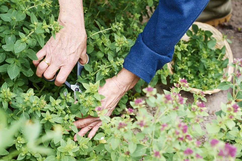 Gardner harvesting oregano in a herb garden