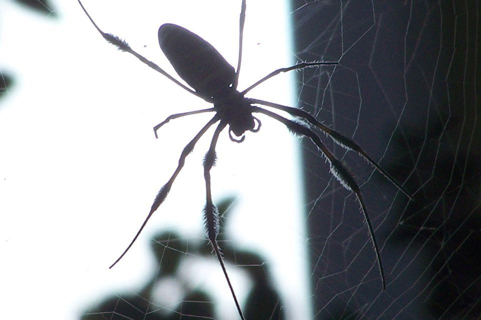 Garden spider backlit by the sun