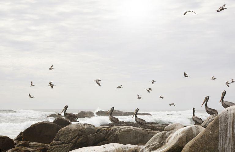 Bandada de pelicanos