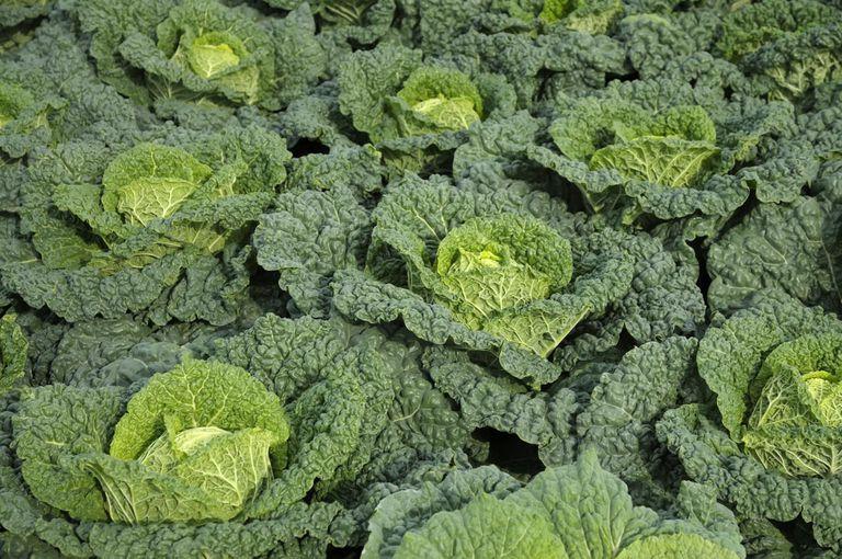 Savoy Cabbage (Brassica oleracea capitata var. Sabauda) 'Alcosa' F1, September