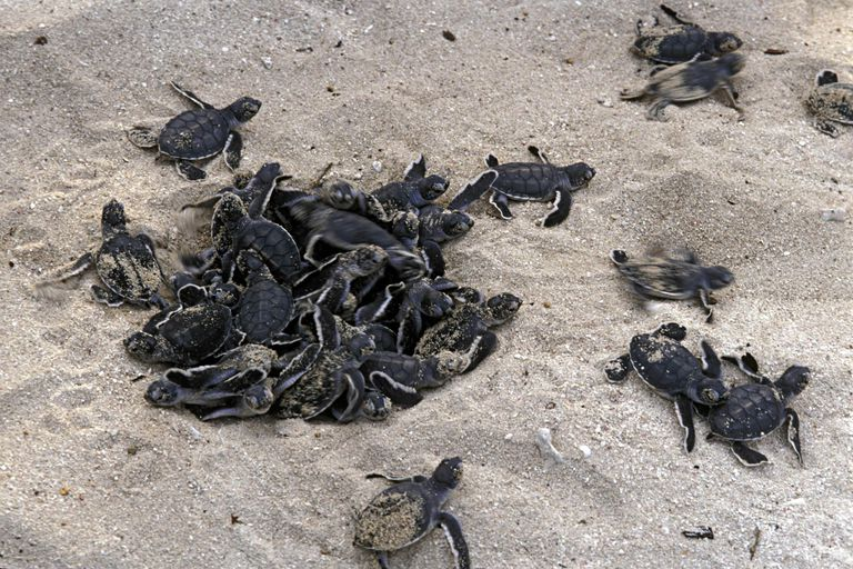 Green Sea Turtles hatching from nest