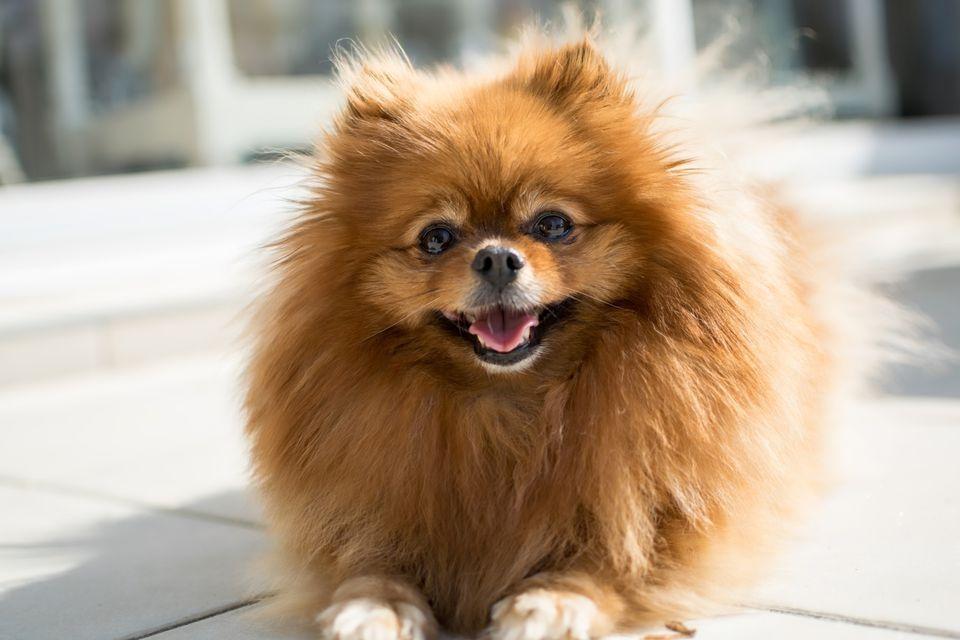 small dogs - pomeranian