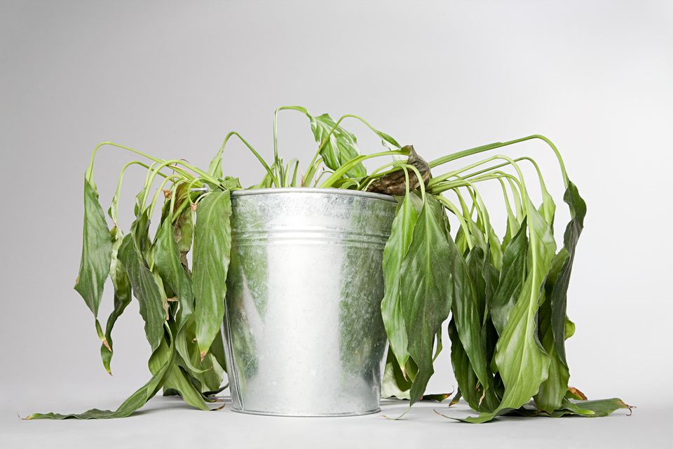 Dying plant in a bucket