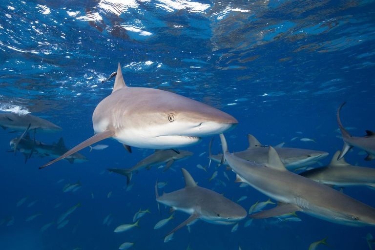 10 interesting facts about sharks for Baby shark fish