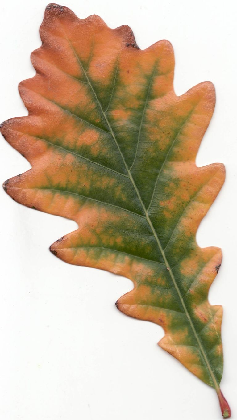 A quick but complete review of common oak tree species