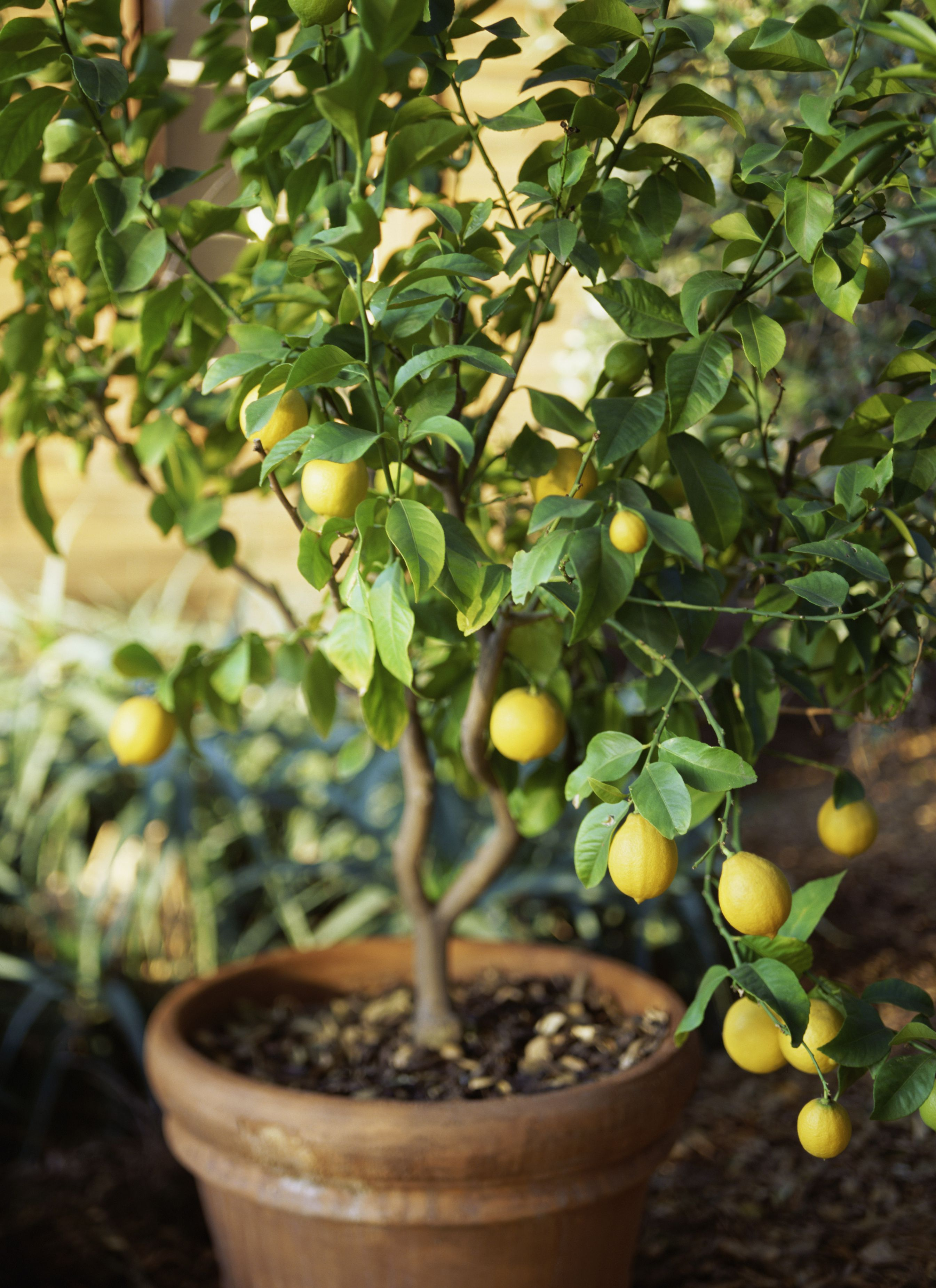 How To Grow Meyer Lemon Trees In Garden Pots