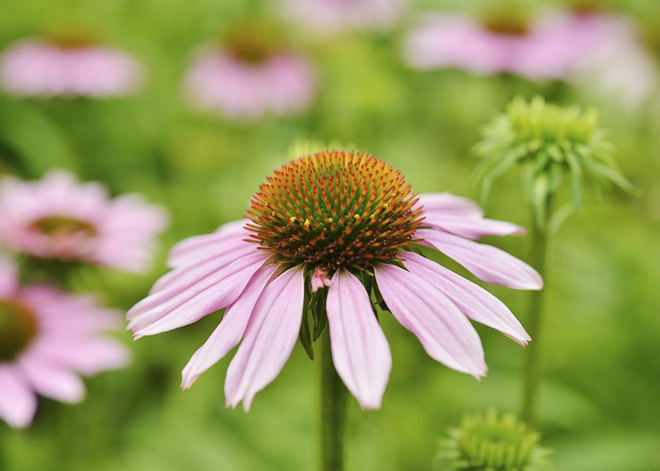 Close up of an echinacea flower