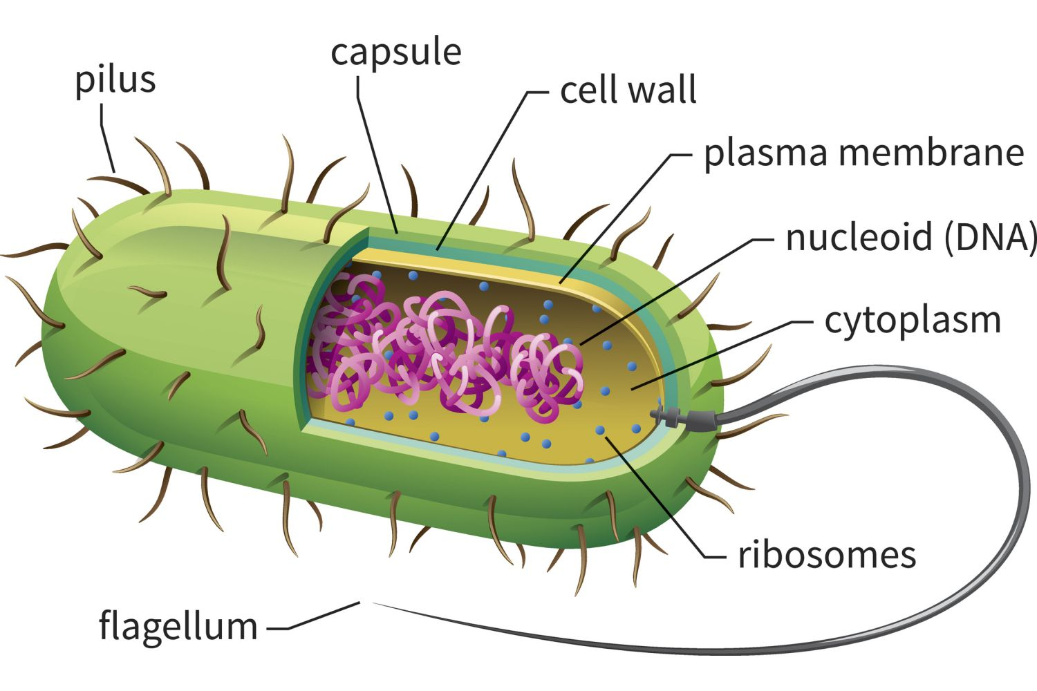Cell structure of bacteria with diagram - Cell Structure Of Bacteria With Diagram 9