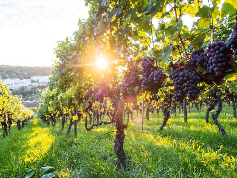Red grapes growing at a vineyard