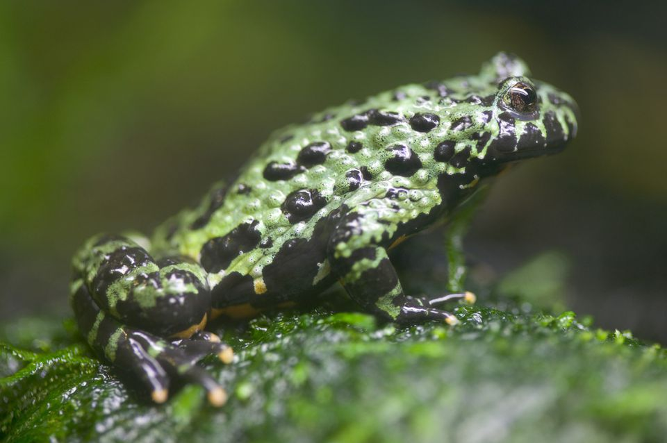 Fire-bellied Toad on Leaf