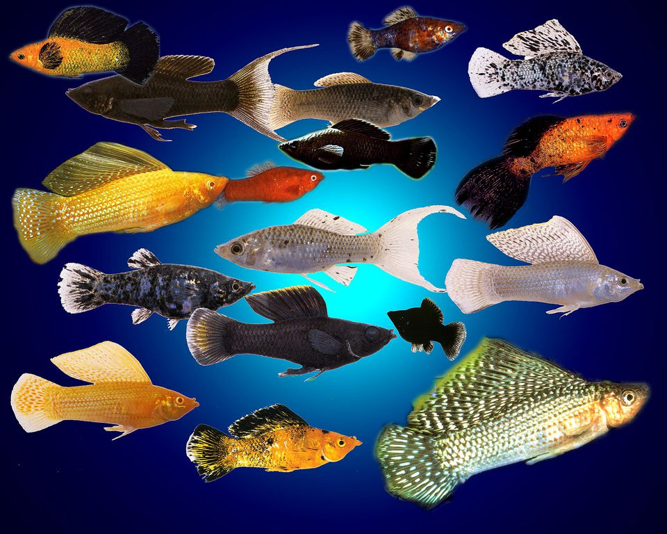 Mollie, Freshwater Comunity fish