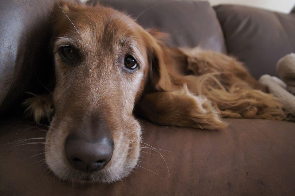 Dog Dementia Pooping In House