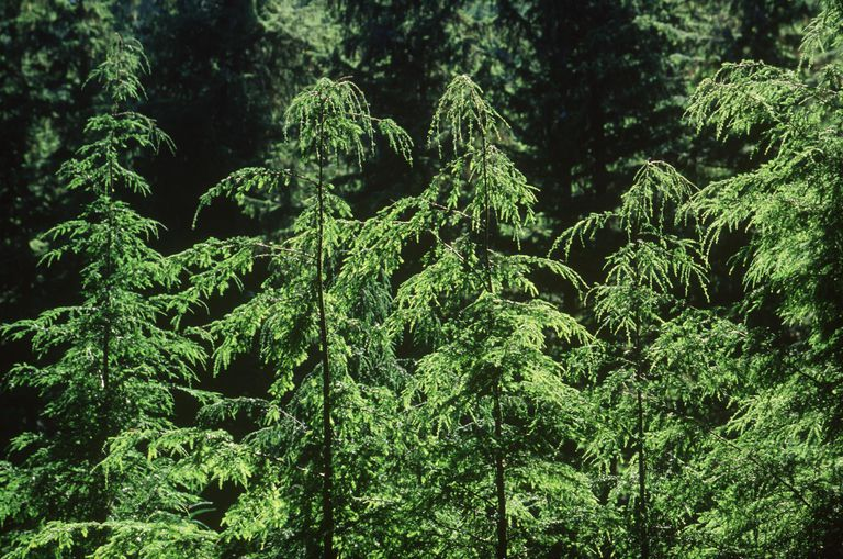 young Hemlock trees, British Columbia, Can...