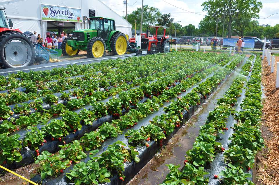 Plant City Florida Winter Strawberry Capital Of The World