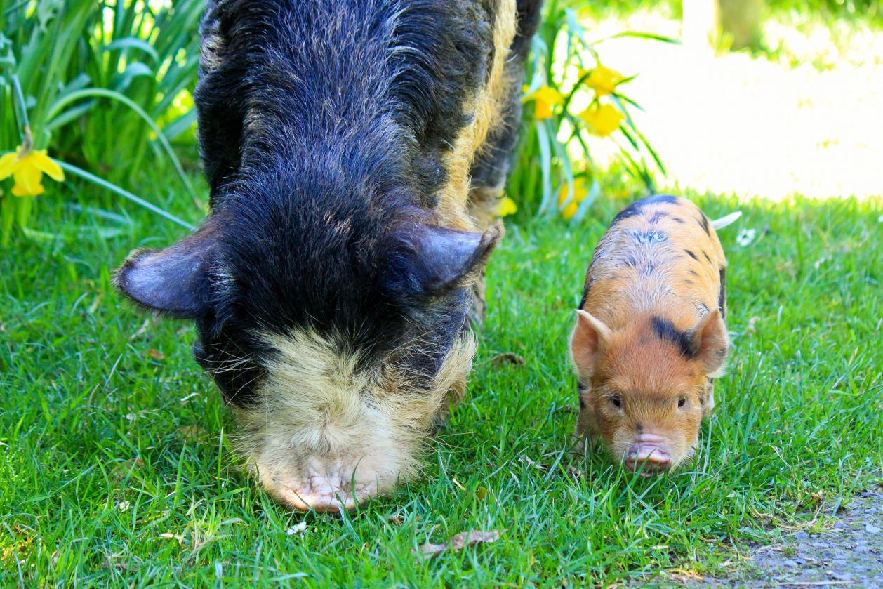 house train a pot bellied pig step by step guide