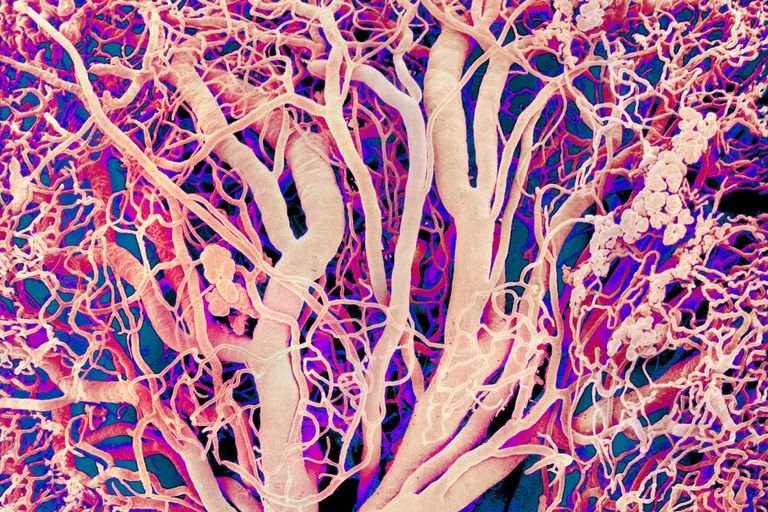 Colored scanning electron micrograph (SEM) of a resin cast of blood vessels in human tissue. This network of vessels infiltrates the tissue, supplying it with blood. Gases and nutrients are exchanged between the blood and surrounding tissue through the permeable walls of capillaries, the smallest blood vessels.