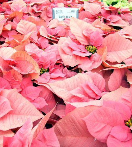 how to grow poinsettias indoors