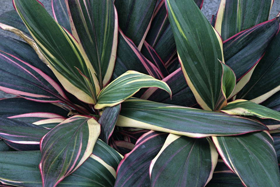 identifying cordyline plants - House Plant Identification By Leaf